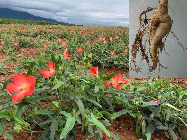 Hạt giống sâm bố chính mang tính quyết định chất lượng của sâm